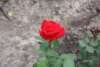 Rosen schneiden – so funktioniert's