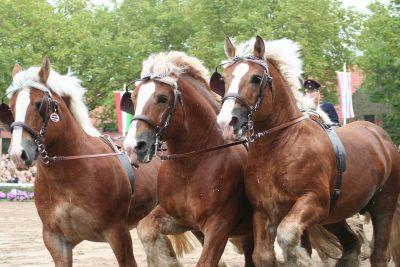 Tagesfahrt nach Moritzburg zur Hengstparade
